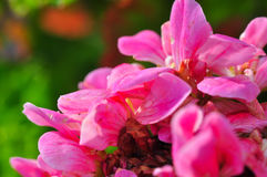 Pink Flowers Royalty Free Stock Photo