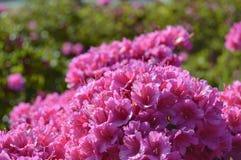 Pink flowers under sunrays royalty free stock photos