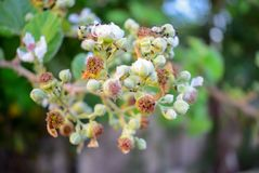 Pink flowers and unripe fruits on a blackberry branch. ants on blackberry blossom stock image