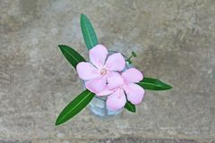 Pink flowers in vase ,Nerium oleander royalty free stock photo