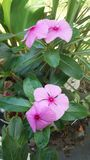 Pink flowers of the vinca royalty free stock photo