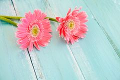 Pink flowers on vintage wooden in blue paint background, royalty free stock photos