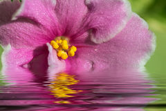 Pink flowers violets water reflection Stock Images