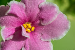 Pink flowers violets Stock Images