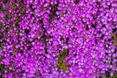 The Pink flowers Royalty Free Stock Images