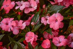 Pink Flowers With Water Droplets Stock Images