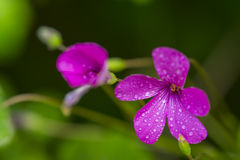 Pink flowers with water drops. Pink wildflowers with water drops Royalty Free Stock Photography