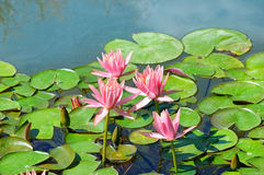 Pink flowers of water lilies in  pond Royalty Free Stock Photography