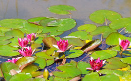Pink flowers of water lilies Royalty Free Stock Photo