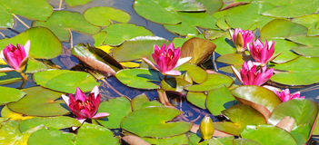 Pink flowers of water lilies Royalty Free Stock Photography
