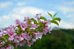 Pink flowers of weigela shrub Royalty Free Stock Photos