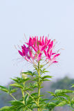 Pink Flowers With Whiskers Stock Images