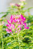 Pink Flowers With Whiskers Royalty Free Stock Photos