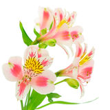 Pink flowers on white Royalty Free Stock Photography