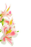 Pink flowers on white Royalty Free Stock Images