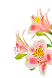 Pink flowers on white Royalty Free Stock Photos
