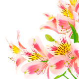 Pink flowers on white Stock Photography