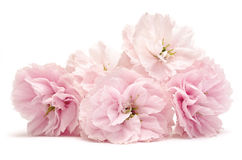 Pink flowers on white Royalty Free Stock Photo