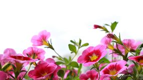 PINK FLOWERS ON WHITE BACKGROUND stock photography