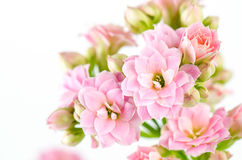 Pink flowers on white background, Kalanchoe blossfeldiana stock photo