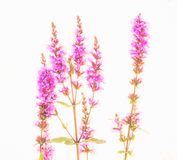 Pink flowers on white background. Pink flowers photographed on a light box Royalty Free Stock Photos