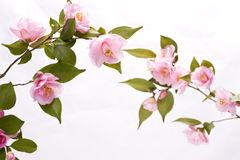Pink flowers in white. Pink camellia flowers in front of white background Royalty Free Stock Images