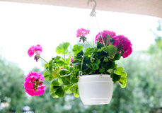 Pink flowers in white hanging flower pot. Outdoor flowerpot. Pink flowers in white hanging flower pot. Colored geraniums in hanging flower pot Stock Photography