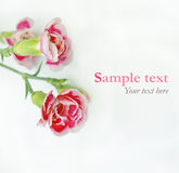 Pink flowers on white with sample text (minimal style) Stock Image