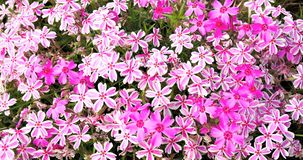 Pink flowers. A wide angle look of some pink and white flowers.Spring flowers Stock Photos
