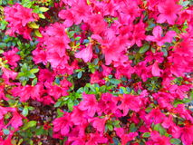 Pink flowers. A wider shot of gorgeous pink flowers in bloom Stock Photography