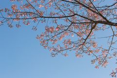 Pink flowers of Wild Himalayan Cherry tree with blue sky Stock Photos