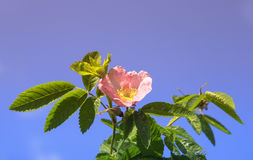 Pink flowers of wild rose on blue sky background Stock Photo