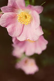 Pink flowers of a wild rose Stock Photography