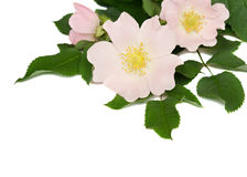 Pink flowers of wild rose Stock Photography