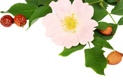 Pink flowers of wild rose and its berries Stock Photo