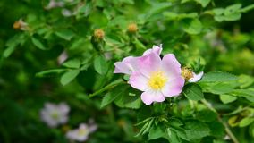 Pink flowers of wild rose in spring stock video