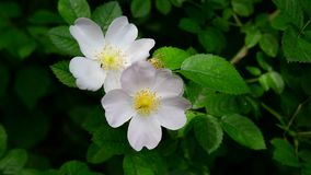 Pink flowers of wild rose in spring stock video footage