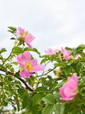 Pink flowers of wild roses Stock Photography