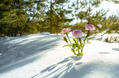 Pink flowers in winter forest Royalty Free Stock Images