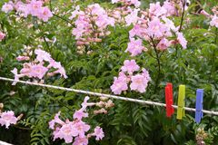 Pink flowers and wire for drying clothes. With colored calipers Stock Photo