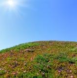 Pink flowers (Carpobrotus) on hillside and sunshine Royalty Free Stock Photography