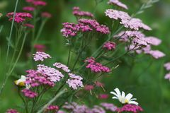 Pink flowers yarrow ordinary on a green background. Decorative multiyear. Pink flowers yarrow ordinary on a green background Royalty Free Stock Image