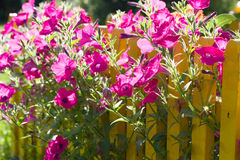 Pink flowers and yellow fence Stock Photography