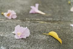 Pink flowers with yellow leaves on black concrete floor. Pink flowers with yellow leaves on black concrete floor Stock Photos