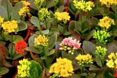 Kalanchoe flowers Royalty Free Stock Photos