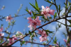 Pink flowers and young green leaves of peach. In spring Stock Image