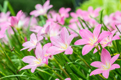 Pink flowers, Zephyranthes rosea, Rain Lily. Royalty Free Stock Photography