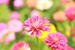 Zinnia Pink Flower Royalty Free Stock Images