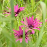 Pink flowes. Pink flowers hidden in the lush green grass Royalty Free Stock Photo