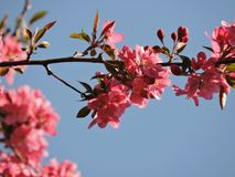 Pink flowes Stock Images
